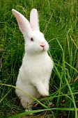 foto of white rabbit  - A cute white baby rabbit standing on hind legs in green grass - JPG