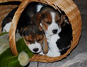 stock photo of puppy beagle  - Beagle puppies sleeping in the basket - JPG