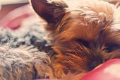 pic of yorkie  - Adorable Yorkie terrier sound asleep in bed  - JPG