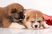 stock photo of akita-inu  - couple of Japanese Akita - JPG