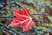 stock photo of caught  - A vividly colorful fallen maple leaf is caught in twigs in Michigan - JPG