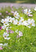 stock photo of cosmos  - Cosmos Flowers - JPG