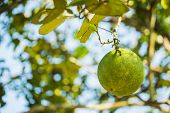 foto of pomelo  - Pomelo fruit tree in the garden, Thailand