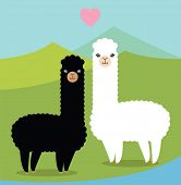 foto of alpaca  - Two cute alpacas in love - JPG