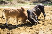 foto of cow  - Fighting cow attacks on battle field Traditional cow fighting - JPG