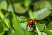 picture of ladybug  - Macro shot of a ladybug on a green grass on a sunny day - JPG