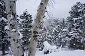 stock photo of initials  - A photo of a snowy day in Colorado with pine trees and an aspen in the foreground with initials carved into it - JPG