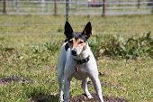 foto of rats  - Rat Terrier at the ranch on alert - JPG