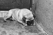 stock photo of pug  - Photograph of a pug dog and a ball on a concrete floor  - JPG