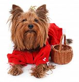 pic of yorkshire terrier  - Cute Yorkshire terrier dog isolated on white - JPG