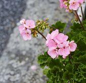 foto of geranium  - detail of geranium in a meadow in la spezia - JPG