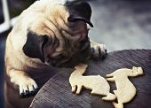 stock photo of pug  - Beautiful male Pug puppy truing to get cookies in shape of a ferret on a wooden table background - JPG