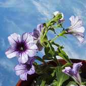 stock photo of petunia  - Flowers of delicate lilac petunia blossoms against the blue sky - JPG