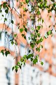 pic of birching  - twig of green birch tree and apartment house on background in spring - JPG