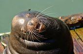 image of sea lion  - California Sea Lion Zalophus californianus on the water front in Newoprt Oregon - JPG