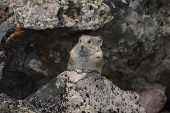 image of marmot  - a marmot stands among the rocks of his den - JPG