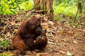 stock photo of orangutan  - Lovely photo of wild Orangutan in Borneo forest Indonesia  - JPG
