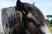 stock photo of brown horse  - horses eye - JPG