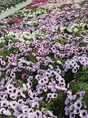 foto of greenhouse  - background Pink potunia in the great greenhouse - JPG