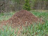 picture of ant  - The ant colony in the forest glade - JPG