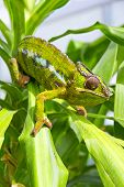 picture of chameleon  - Closeup of a chameleon among the leaves of a tree - JPG