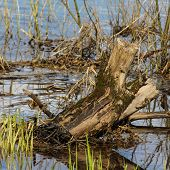 stock photo of driftwood  - Coastal aquatic vegetation at the river with protruding driftwood - JPG