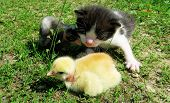 image of baby chick  - Kitten and baby chicks on the grass enjoying spring - JPG