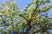 foto of naturalist  - flowering fruit tree in the young naturalist station - JPG