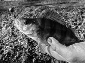 foto of caught  - Freshly caught perch in the hands of the fisherman - JPG