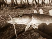 stock photo of fishermen  - Freshly caught pike - JPG
