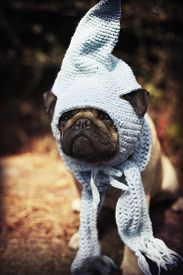 stock photo of gnome  - Beautiful male pug puppy dog sitting on a tree log in the sunshine with a blue scarf and a gnome hat - JPG