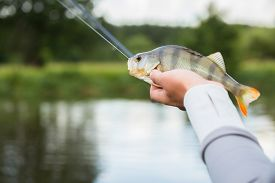 stock photo of freshwater fish  - Fisherman holding a large perch - JPG
