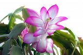 foto of schlumbergera  - Picture of the Schlumbergera flowers on white background - JPG