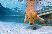 Dog Swimming Underwater In The Pool poster