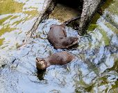 Постер, плакат: Asian Small clawed Otter