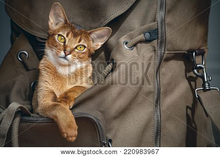 poster of Cute light brown cat sitting in open backpacker and probably saying I`m going to travel with you! D
