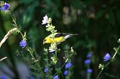 American Gold Finch male