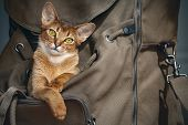 Cute light brown cat sitting in open backpacker and probably saying I`m going to travel with you! D poster