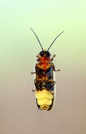stock photo of lightning bugs  - A macro shot of a firefly  - JPG