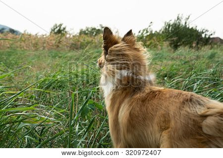 poster of Scotch Collie Dog Running In Meadow. Beautiful Scotch Collie Dog In Meadow. Close Up Of Dog. Scotch