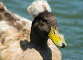 foto of crested duck  - Photo of crested duck taken at Goldenwest Park in Huntington Beach California - JPG