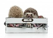 couple of two hedgehogs standing side by side in a box with wool, on white background, full body poster