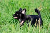 A Long-hair Apple Head Chihuahua. Toy Dog. Young Energetic Dog Is Walking In The Meadow. How To Prot poster