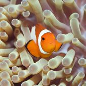 image of windflowers  - Anemone and Clown fish close - JPG