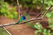 Peacock Feathers, Peacock Feathers Or Tail, Peacock Tail On Tree Branch poster