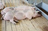 Pigs On Countryside Farm. Pig Farming Is The Raising And Breeding Of Domestic Pigs As Livestock, And poster