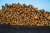 Pine Logs. A Stack Of Freshly Sawn Pine Logs. Timber Harvestingf For Lumber Industry. poster