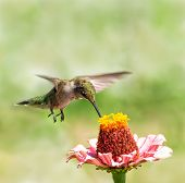 Young male Ruby-throated Hummingbird hovering over a Zinnia flower, getting nectar from it poster