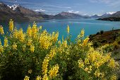 Yellow Lupines At Lake Wakatipu
