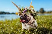Pug Dog Wearing Flower Wreath By River. Happy Puppy Chilling Outdoors On Summer Field poster